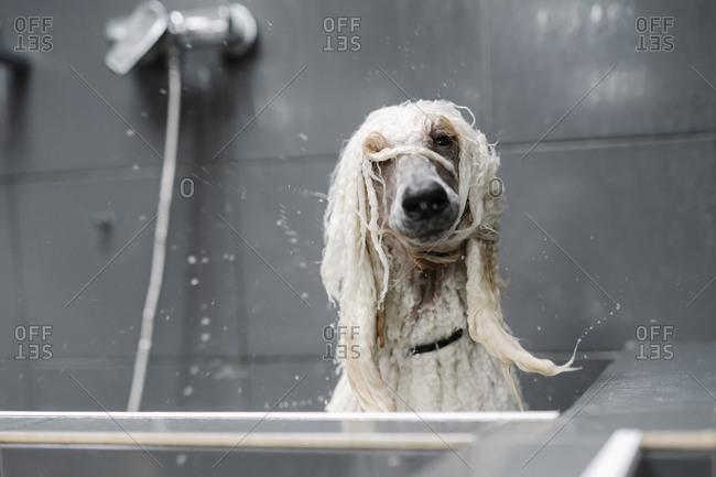 Portrait of wet Standard Poodle shaking head