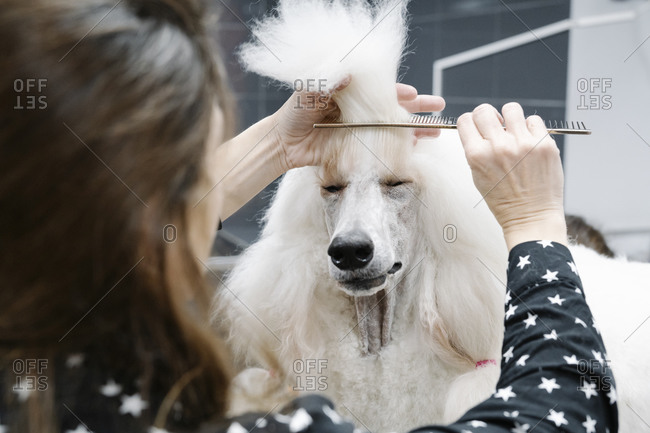 Crop view of woman combing white Standard Poodle