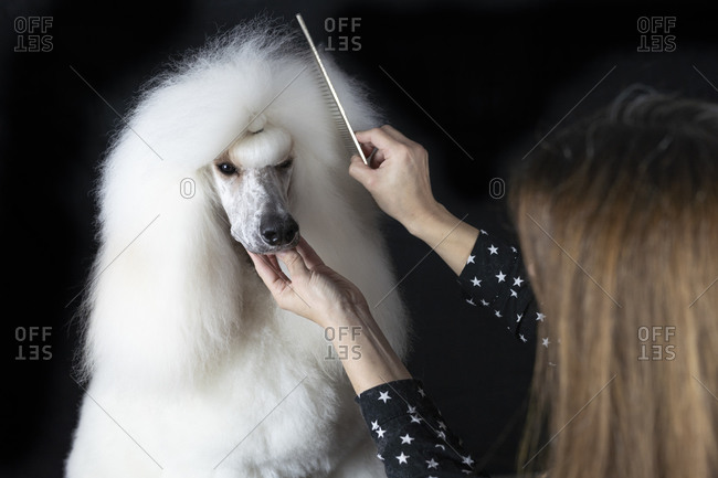 Crop view of woman combing white Standard Poodle against black background