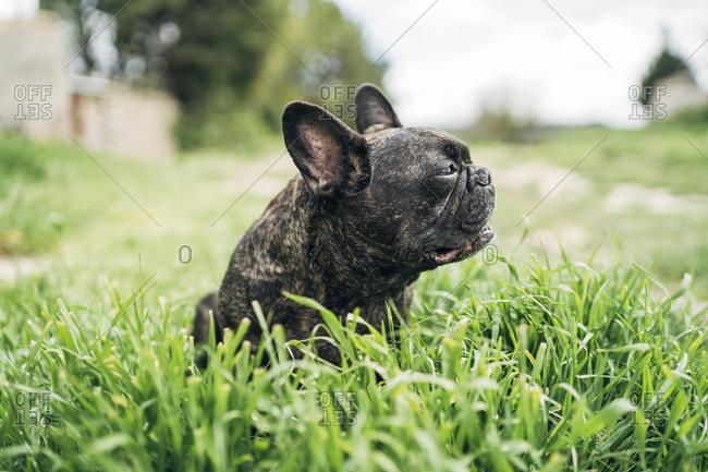 Portrait of bulldog sitting on a meadow