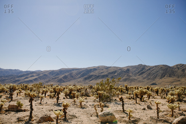 View of sandy desert terrain with dry grass cactuses and rough stones below amazing clear blue sky in sunlight in California