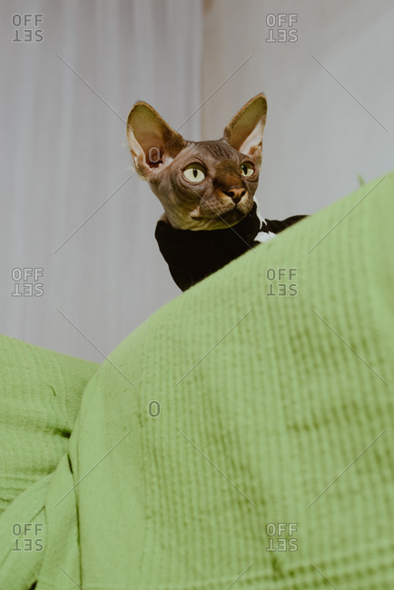 Cute gray pedigreed Sphynx cat dressed in striped black cloth sitting on bed in light bedroom
