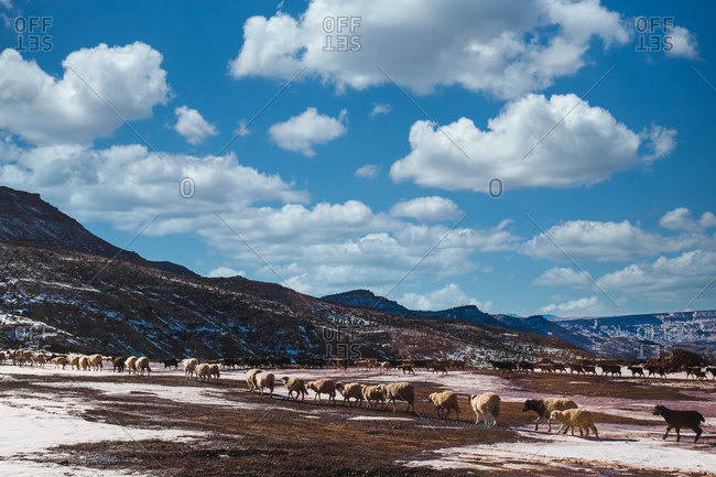 Breathtaking scenery of flock of sheep grazing in highland valley covered with snow on sunny day in Morocco
