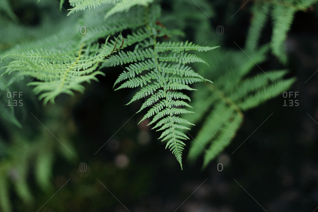 Closeup of green fern leaves growing in calm forest in quiet park in countryside