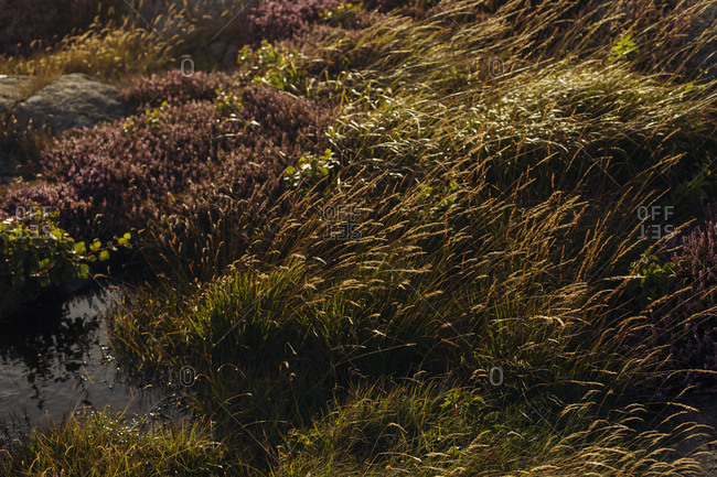 From above of swinging of wild heather growing on meadow with green grass on sunny day in summer