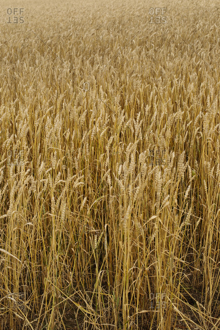 Picturesque view of agricultural rye field in summer cloudy evening in countryside