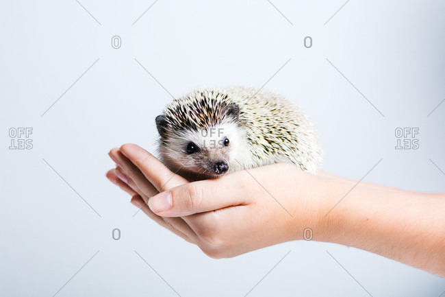 Side view of crop anonymous person holding cute little hedgehog in hands against white background