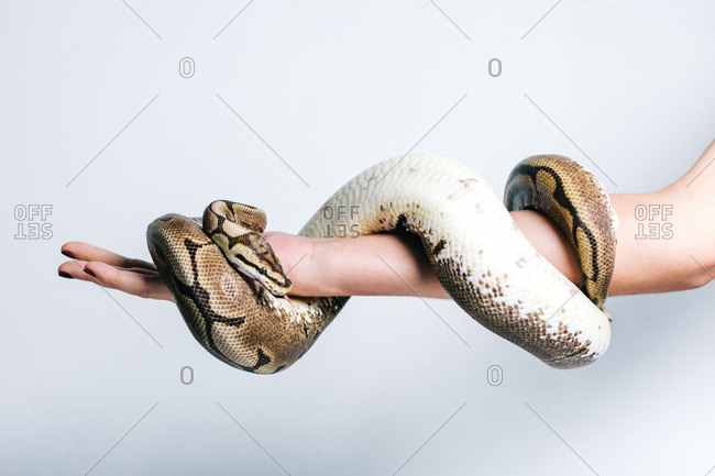 Side view of crop anonymous female with python snake wrapped around arm on white background
