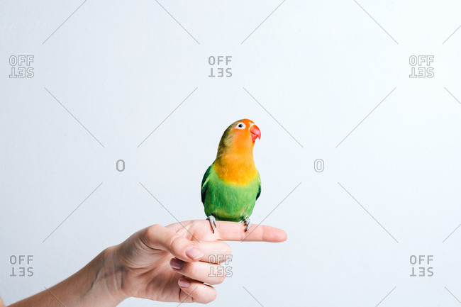 Crop anonymous female holding cute small colorful lovebird parrot against white background