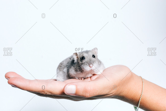 Crop anonymous female holding cute little gray guinea pig against white background