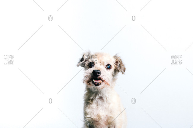 Funny fluffy white little lap dog sitting against white background and looking at camera
