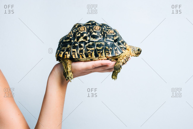 Adorable little turtle held by crop anonymous person on white background
