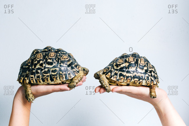 Pair of adorable little turtles held by crop anonymous persons on white background