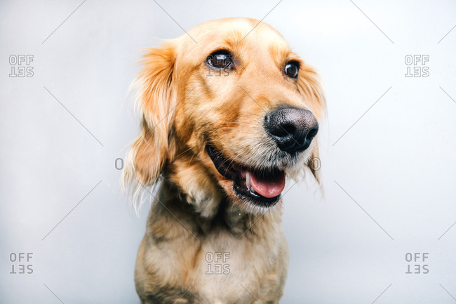 Adorable healthy active pedigreed dog with collar sitting against white background