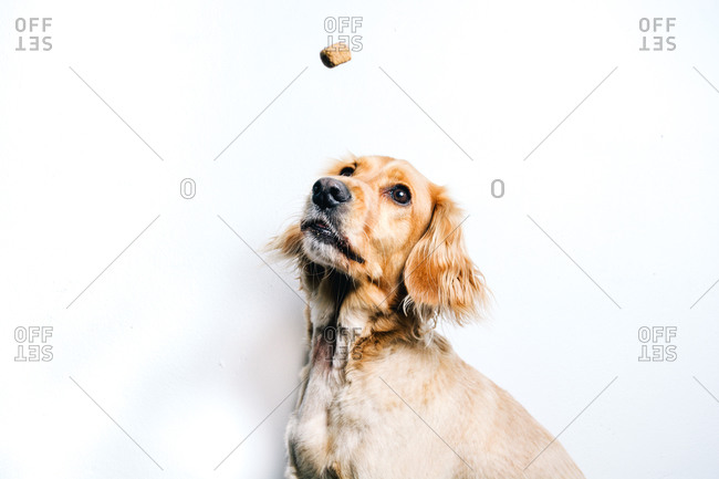 Low angle of cute healthy purebred dog catching flying snack while sitting against white wall