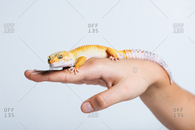 Closeup of small yellow lizard in human palms on white background