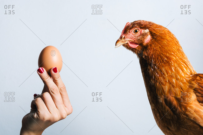 Crop anonymous woman holding brown egg in front of red chicken on white background