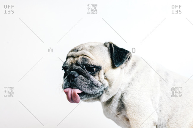 Funny adorable pedigreed Pug dog with tongue out sitting against white background