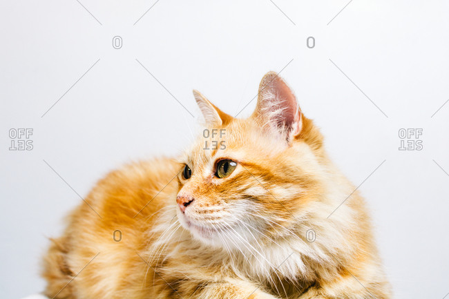Cute fluffy tabby ginger cat looking away frighteningly isolated on white background