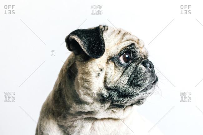 Cute Pug dog on white background