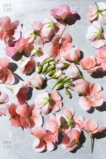 Close up of pink geranium flowers in sunlight