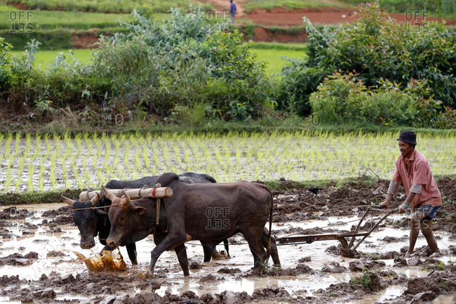 January 16, 2020: Farmer ploughing rice paddy field with traditional primitive wooden oxen-driven plough, Madagascar, Africa