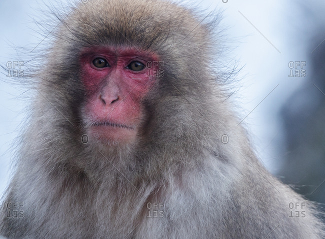 Snow monkey, Honshu, Japan, Asia