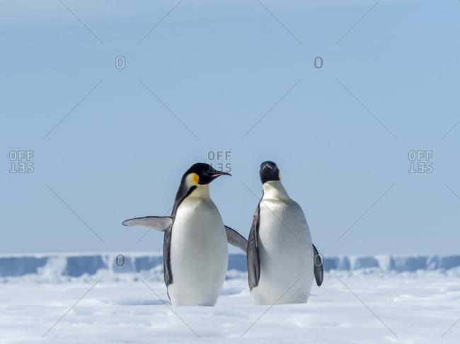 Adult emperor penguins (Aptenodytes forsteri), hauled out on ice near Snow Hill Island, Weddell Sea, Antarctica, Polar Regions