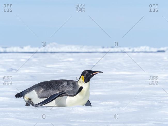 Adult emperor penguin (Aptenodytes forsteri), tobogganing on ice near Snow Hill Island, Weddell Sea, Antarctica