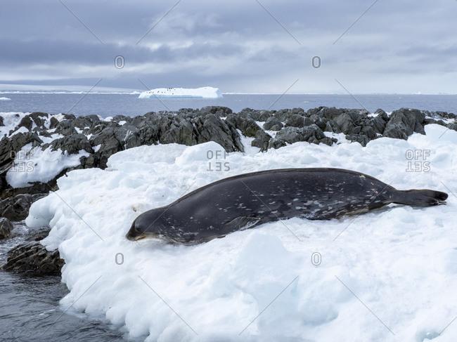 An adult Weddell seal (Leptonychotes weddellii), on ice on Dundee Island, Antarctic Sound, Antarctica, Polar Regions