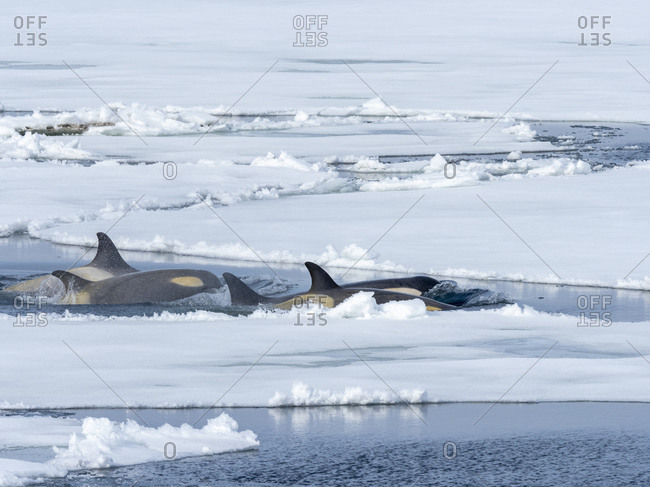 Type Big B killer whales (Orcinus orca) searching ice floes for pinnipeds in the Weddell Sea, Antarctica, Polar Regions