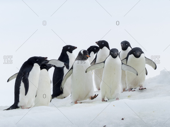 Adelie penguins (Pygoscelis adeliae), with a gentoo penguin at Brown Bluff, Antarctic Sound, Antarctica, Polar Regions