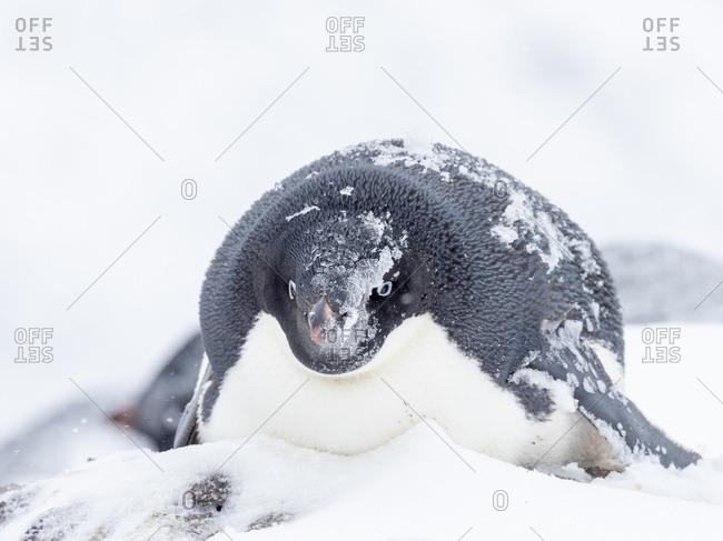 Adelie penguin (Pygoscelis adeliae), breeding colony on Paulet Island, Weddell Sea, Antarctica, Polar Regions