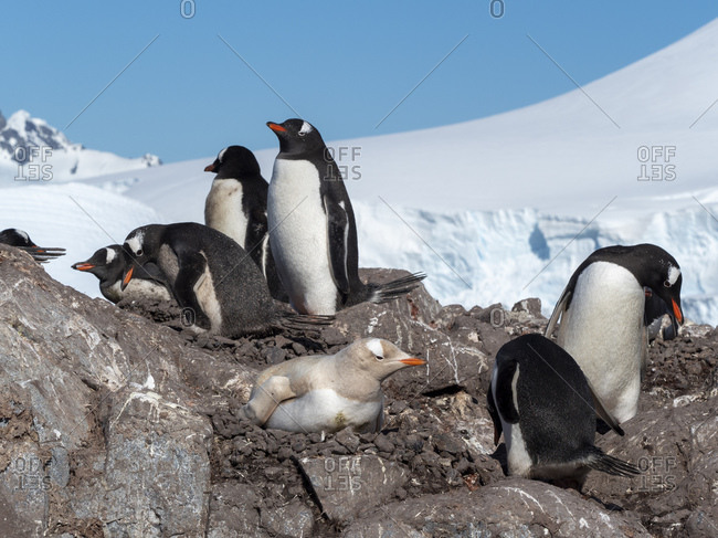 A leucistic gentoo penguin (Pygoscelis papua), showing lack of melanin nesting at the Chilean Base Gonzalez Videla, Antarctica, Polar Regions