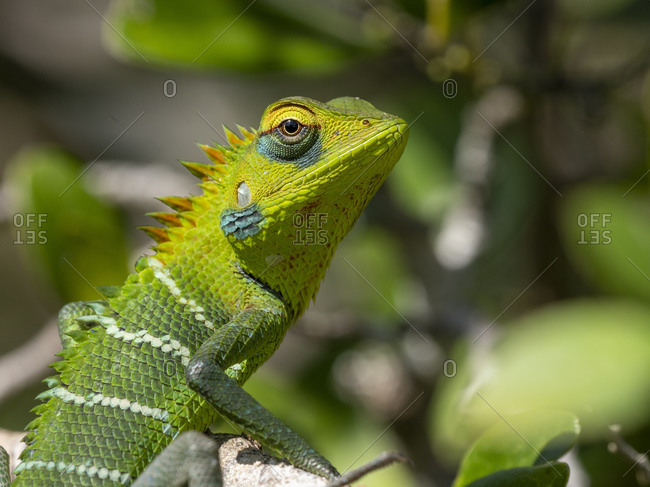An adult common green forest lizard (Calotes calotes), changing colors, Wilpattu National Park, Sri Lanka, Asia