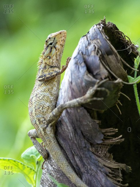 An adult Eastern garden lizard (Calotes versicolor versicolor), in the Kalpitiya Peninsula, Sri Lanka, Asia