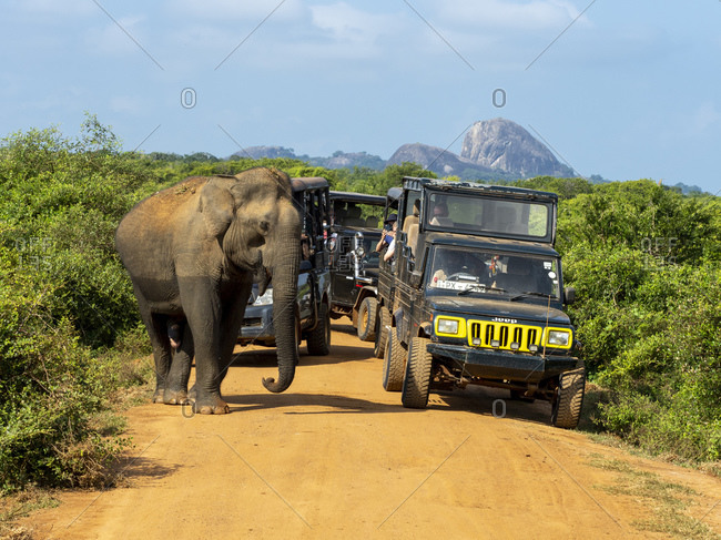 January 17, 2020: An adult Asian elephant (Elephas maximus), with safari vehicles, Yala National Park, Sri Lanka, Asia