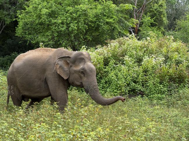 An adult Asian elephant (Elephas maximus), feeding in the forest, Yala National Park, Sri Lanka, Asia