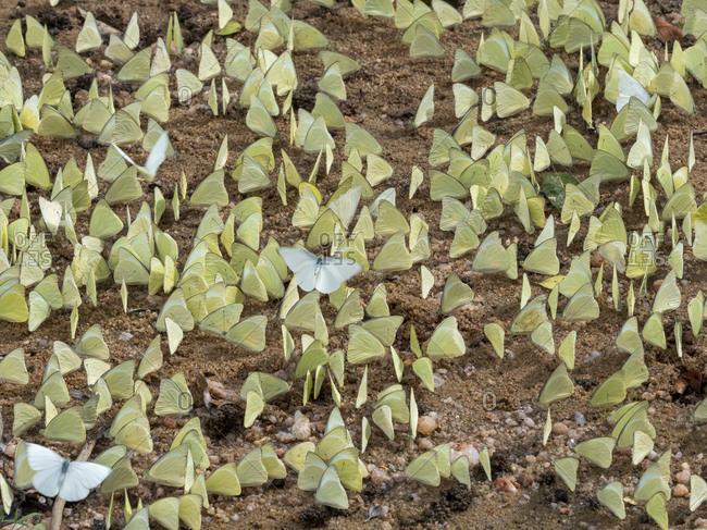 A gathering of lemon emigrant butterflies (Catopsilia pomona), Yala National Park, Sri Lanka, Asia