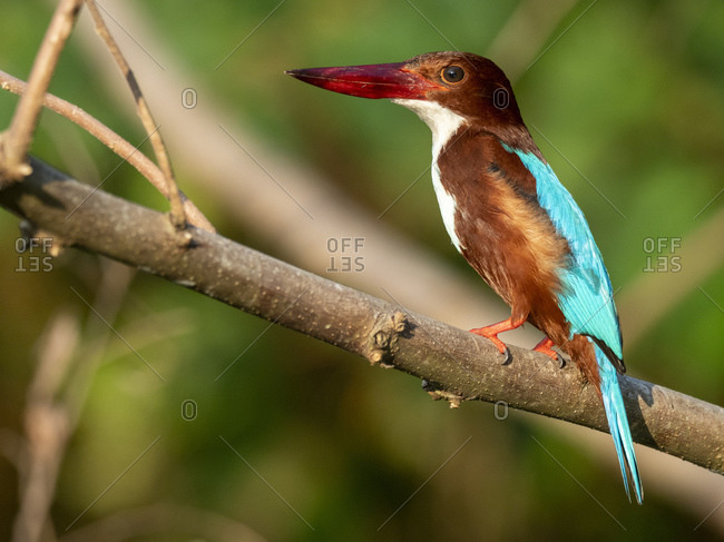 An adult white-throated kingfisher (Halcyon smyrnensis), on the Nilwala River, Sri Lanka, Asia