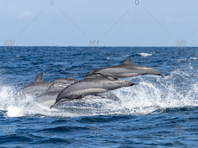 Adult spinner dolphins (Stenella longirostris), leaping in the waters off the Kalpitiya Peninsula, Sri Lanka, Asia