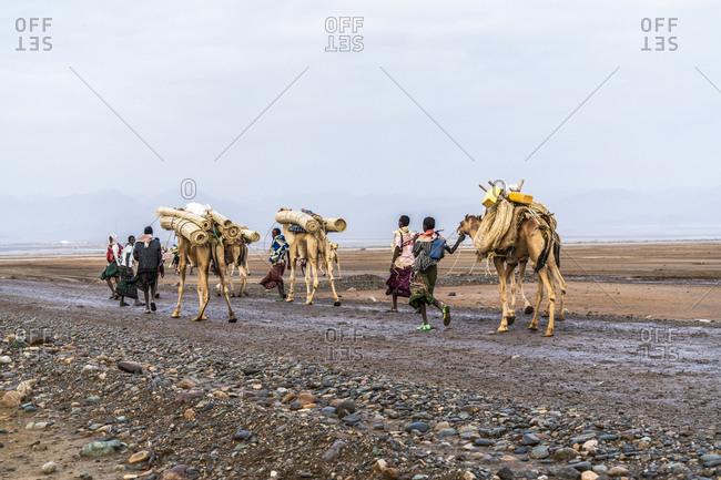 February 2, 2020: Camels caravan marching to salt mines, Dallol, Danakil Depression, Afar Region, Ethiopia, Africa