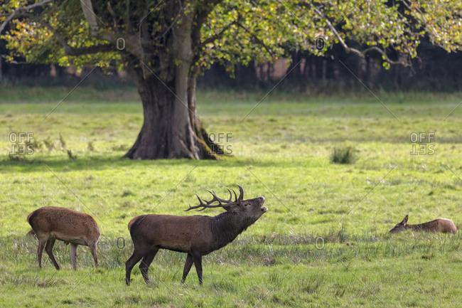 Red Deer, Killarney National Park, County Kerry, Munster, Republic of Ireland, Europe