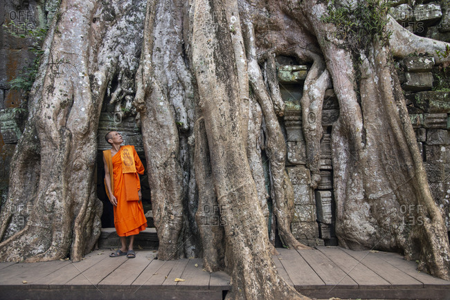 November 19, 2014: A Buddhist monk gazes up at the roots of a Banyan tree at the Angkor archaeological complex, UNESCO World Heritage Site, Siem Reap, Cambodia