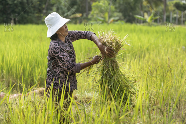 November 20, 2014: Rice harvesting in Siem Reap, Cambodia, Indochina, Southeast Asia, Asia