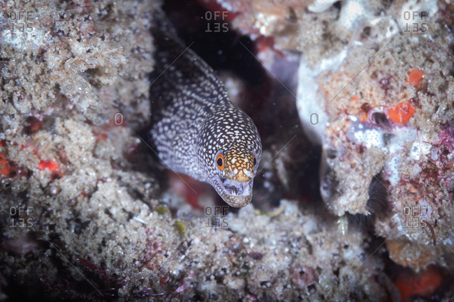 Moray Eel, Tofo, Mozambique, Africa