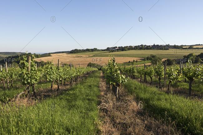 Vineyards at Nuits St. Georges, Burgundy, France