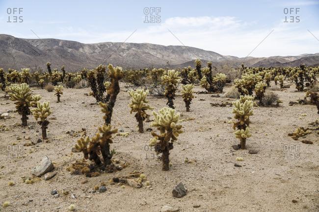 Cholla Cactus Garden in Joshua Tree National Park, Mojave Desert, California, USA