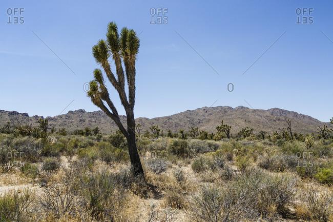 Joshua Trees in the Mojave Desert, Mojave National Preserve, San Bernardino County, California, USA