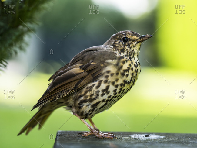 Song Thrush on a bench, Invercargill, New Zealand